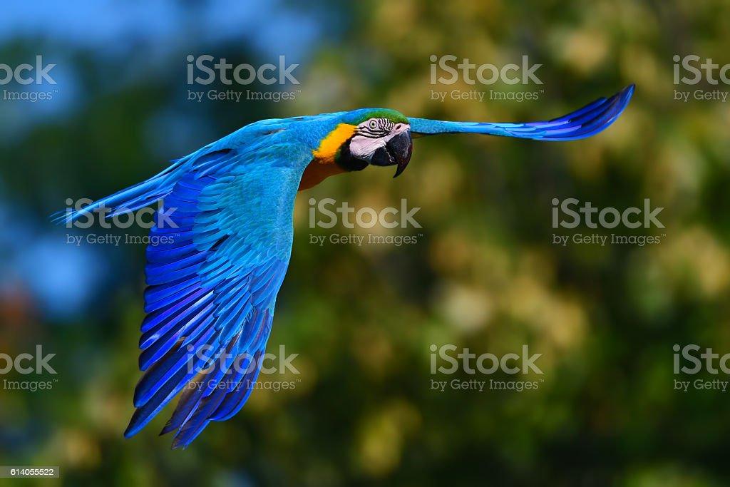 blue and yellow macaw (Ara ararauna) in flight stock photo