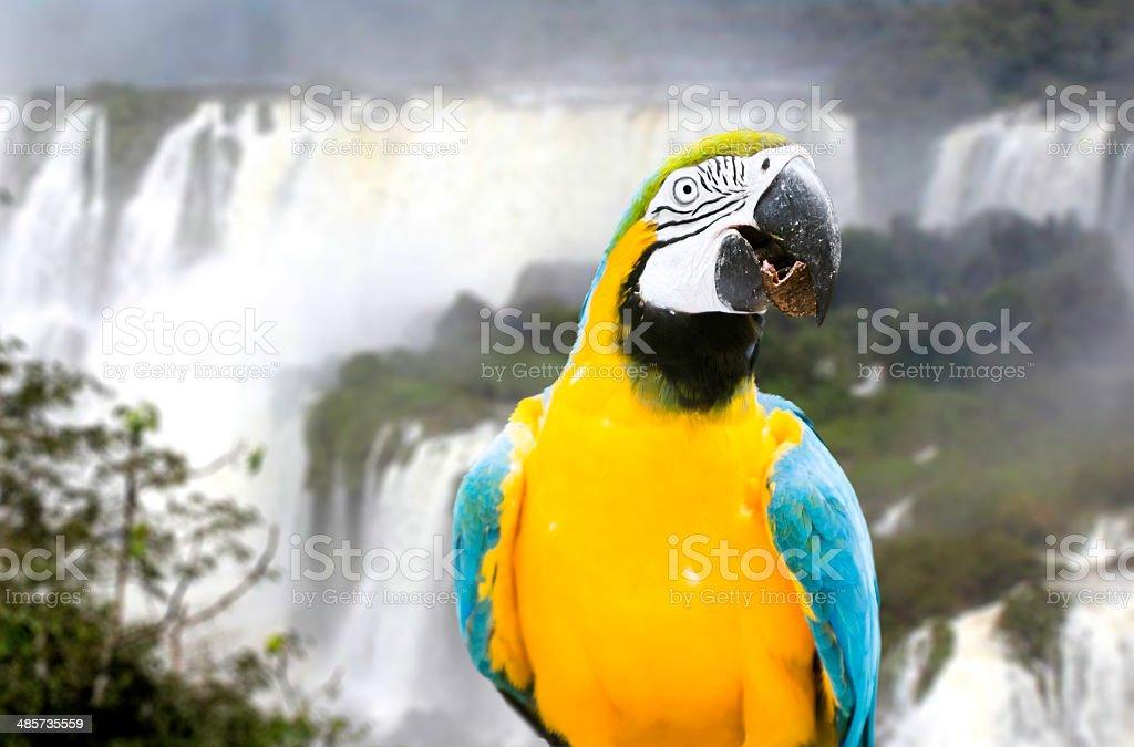 Blue and Yellow Macaw in Iguazu Falls, Brazil stock photo
