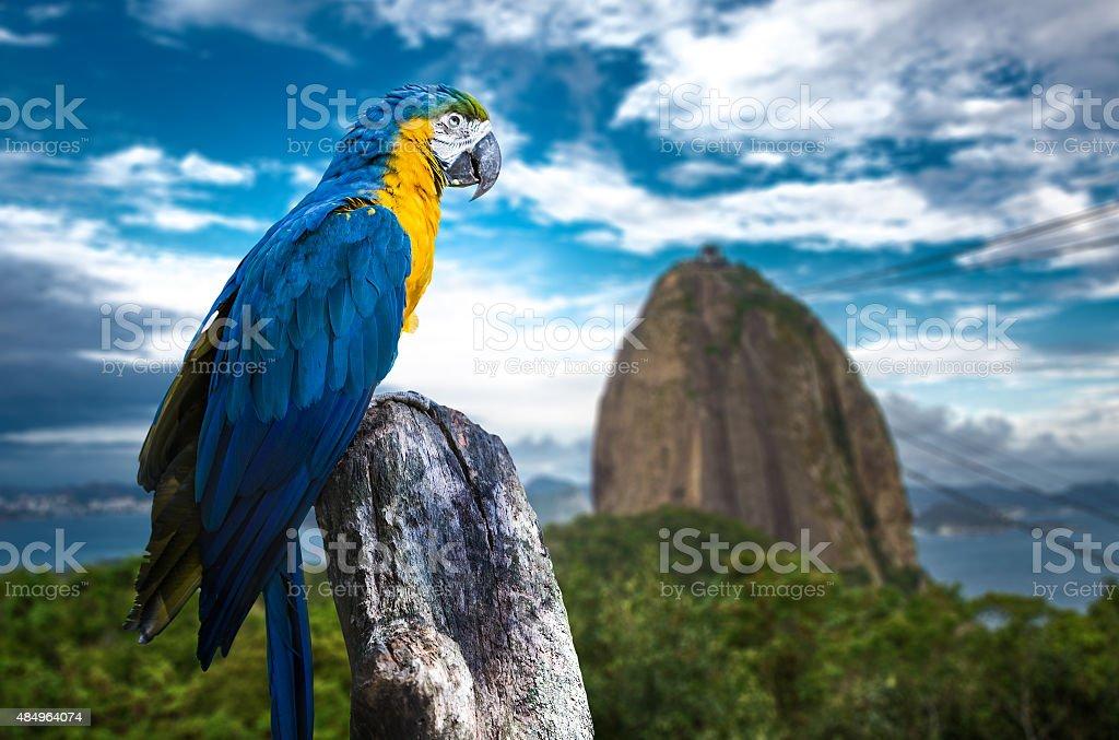 Blue and Yellow Macaw in Rio de Janeiro stock photo