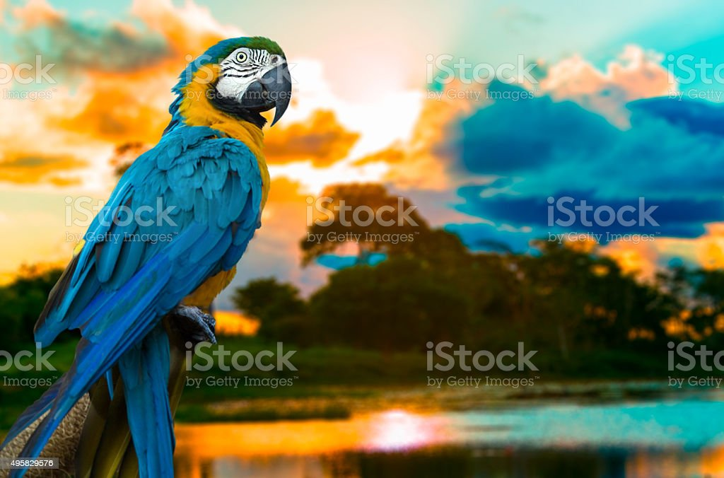 Blue and Yellow Macaw on the nature stock photo