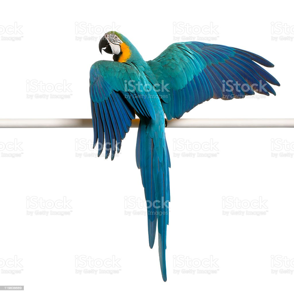 Blue and Yellow Macaw, perched on pole, white background. stock photo