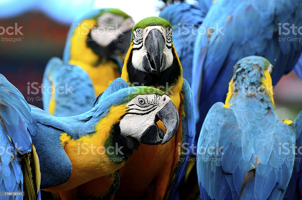 Blue and Yellow Macaw showing his lovely face royalty-free stock photo