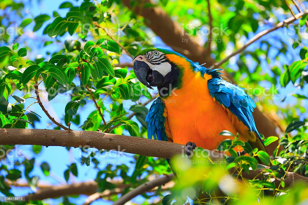 Blue and yellow macaw tropical bird, brazilian amazon rainforest wild stock photo