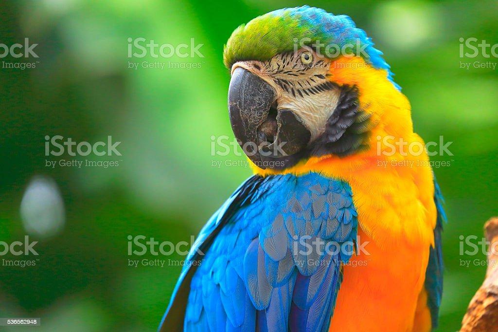 Blue and yellow macaw tropical BIRD, brazilian pantanal rainforest stock photo