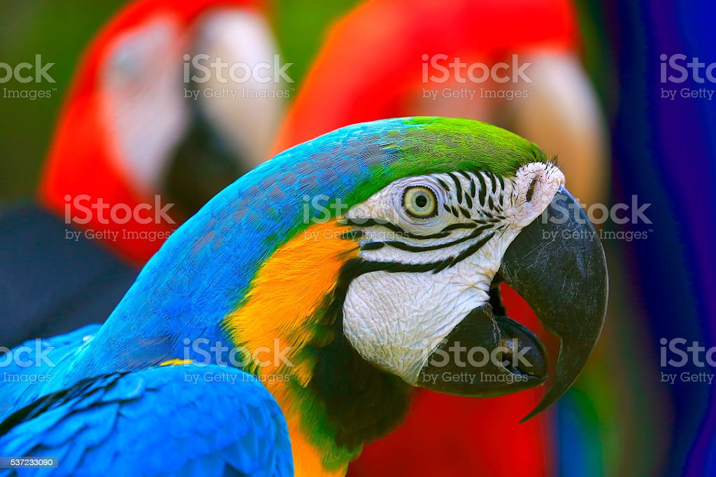 Blue and Yellow macaw tropical BIRD, brazilian rio rainforest stock photo