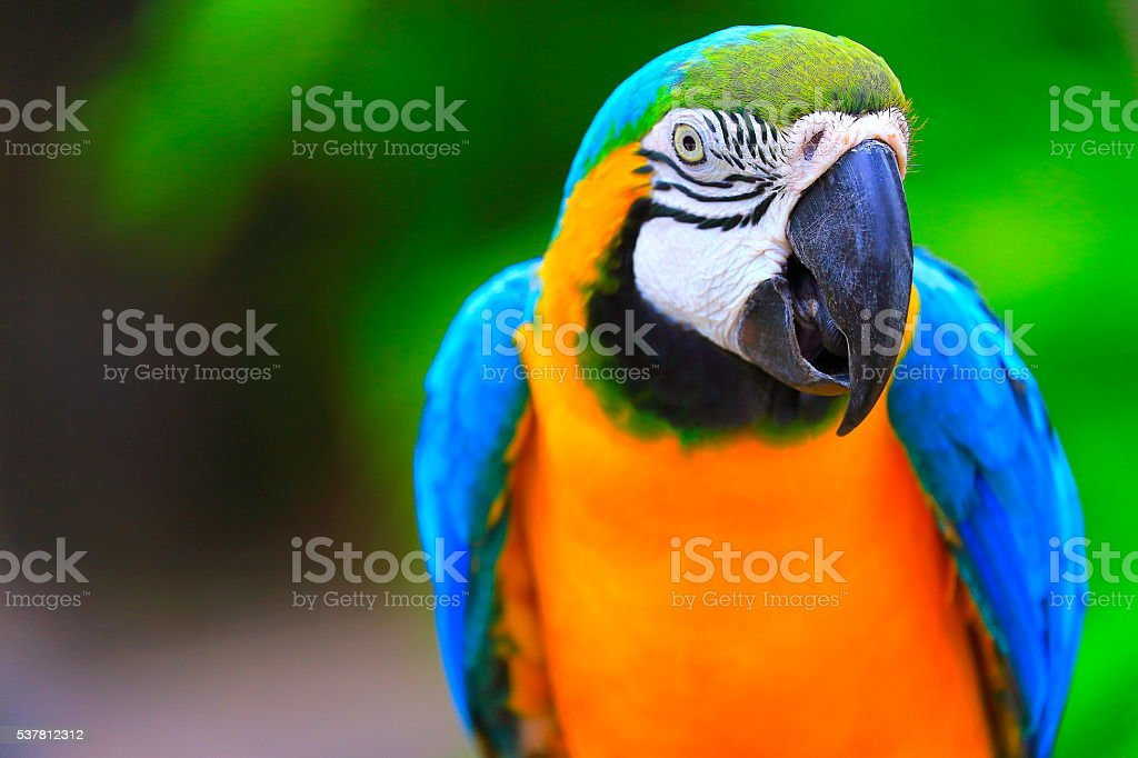 Blue and Yellow macaw tropical BIRD, brazilian rio rainforest stock photo