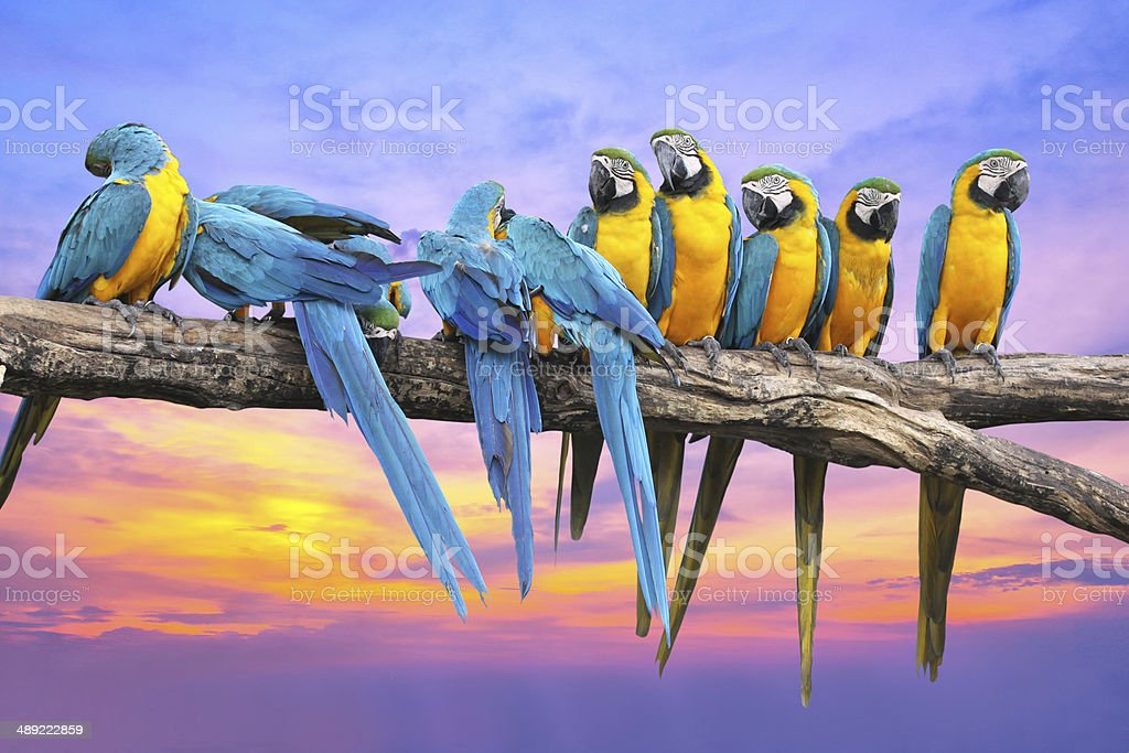 Blue and Yellow Macaw with beautiful sky at sunset stock photo