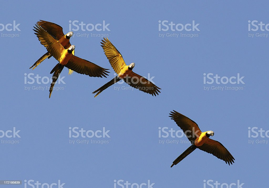 Blue and Yellow Macaws in Flight stock photo