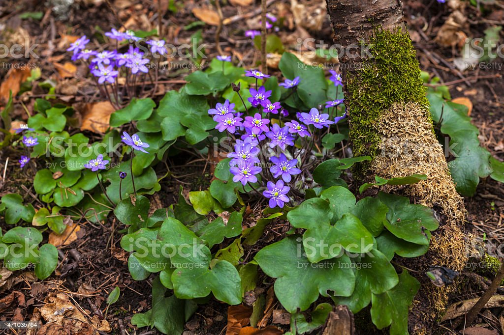 Blue anemone flowers in spring. stock photo