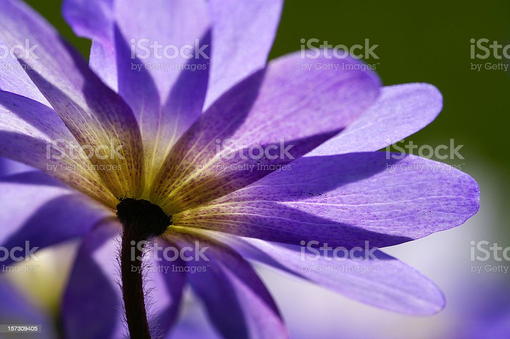 Blue anemone in the counter-light royalty-free stock photo