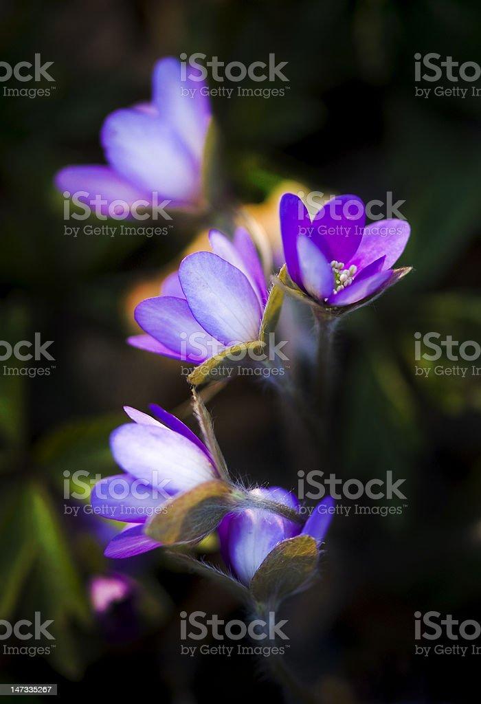 Blue anemone royalty-free stock photo
