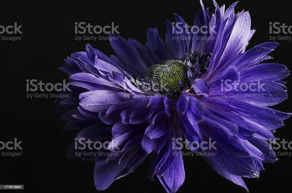 Blue anemone royalty-free stock photo