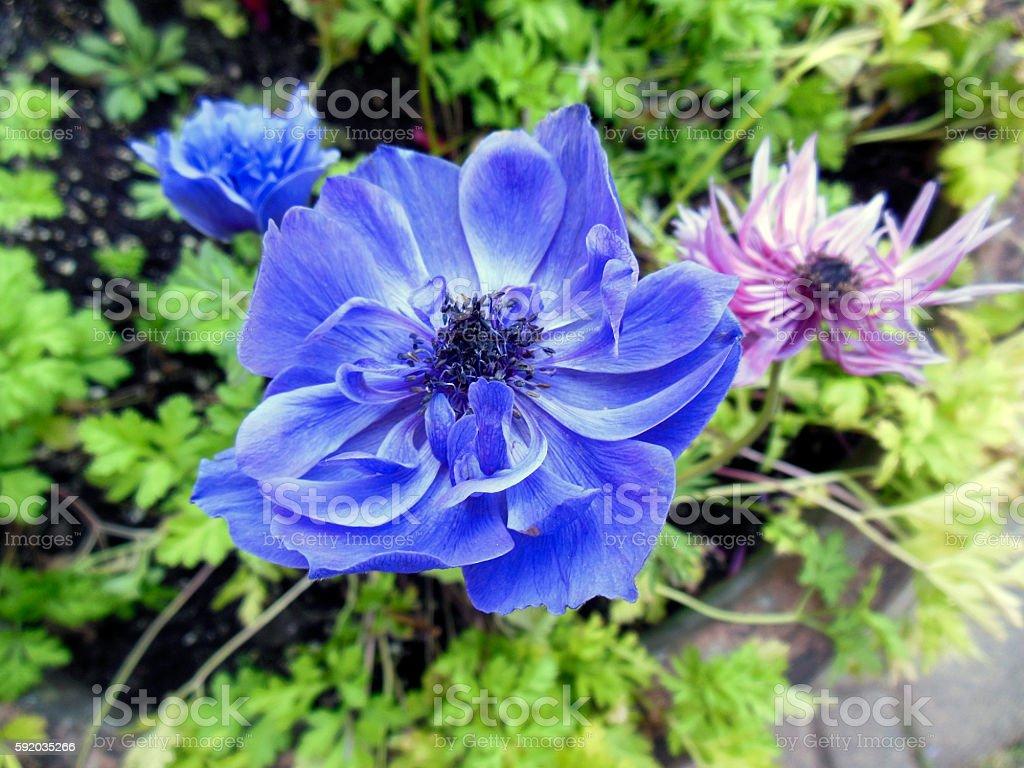 Blue Anemone stock photo