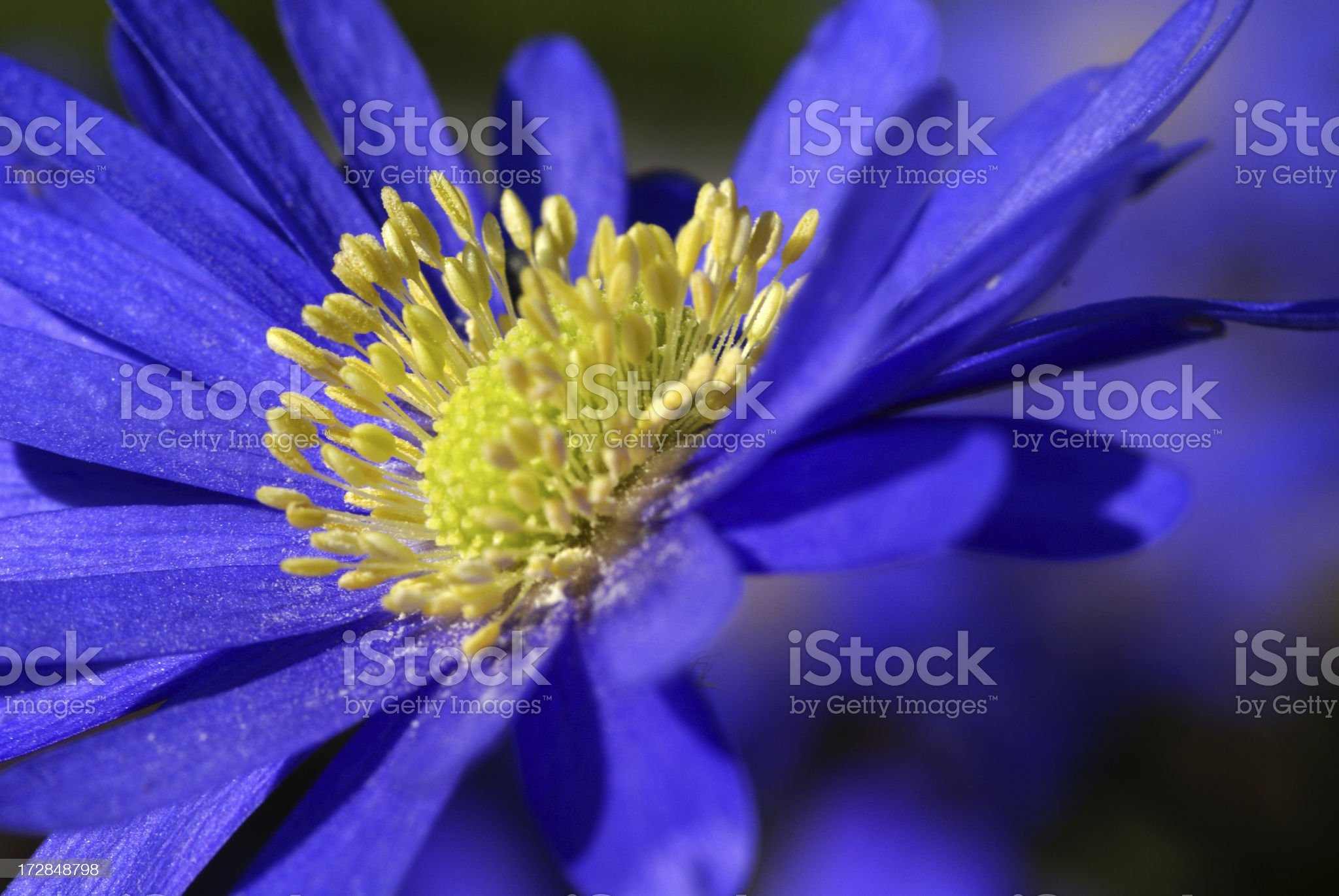 Blue anemones flower royalty-free stock photo