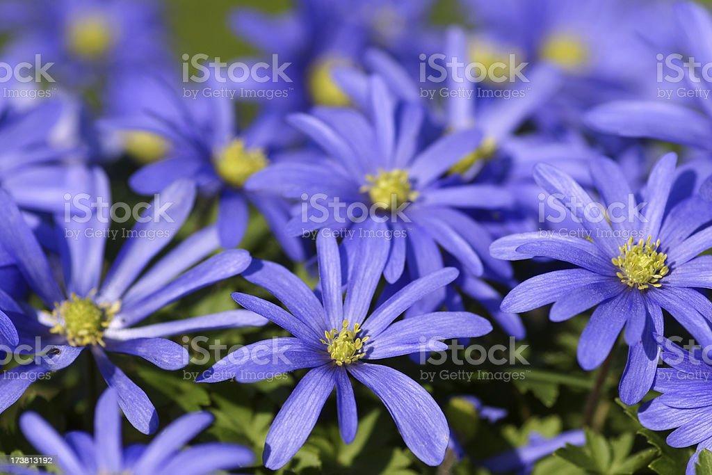 Blue anemones royalty-free stock photo