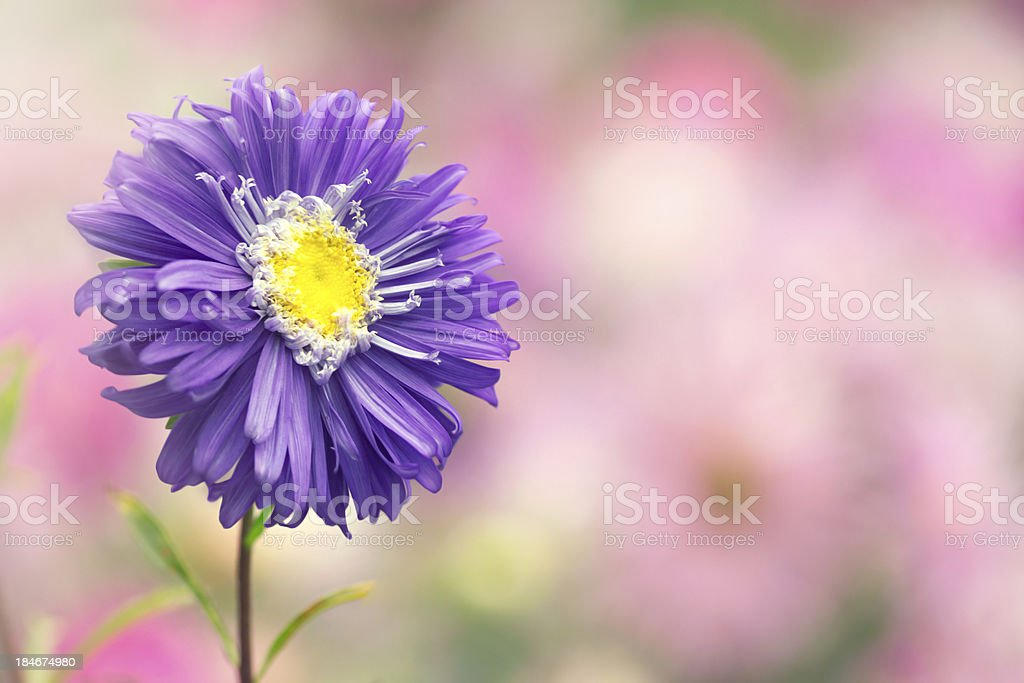 Blue Aster flower royalty-free stock photo