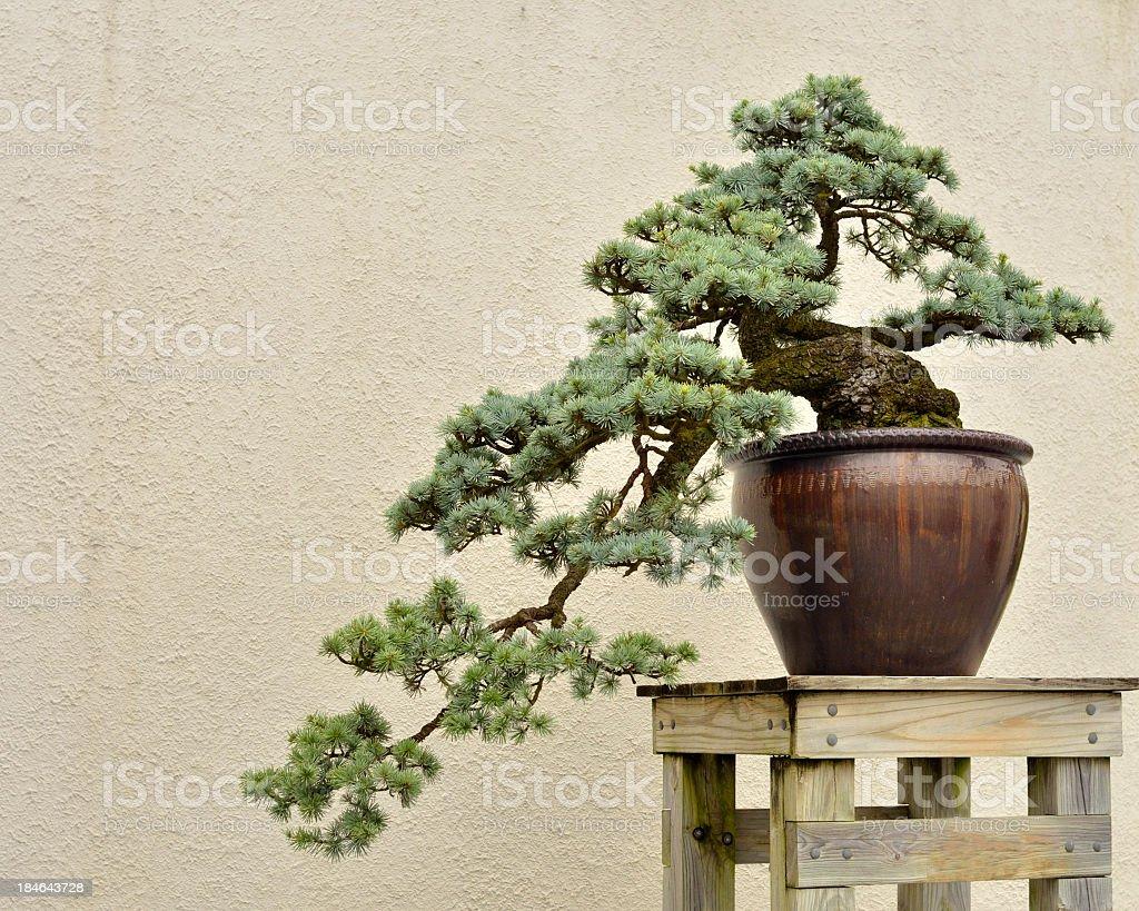 Blue Atlas Cedar, Cedrus atlantica Glaucia, Bonsai stock photo