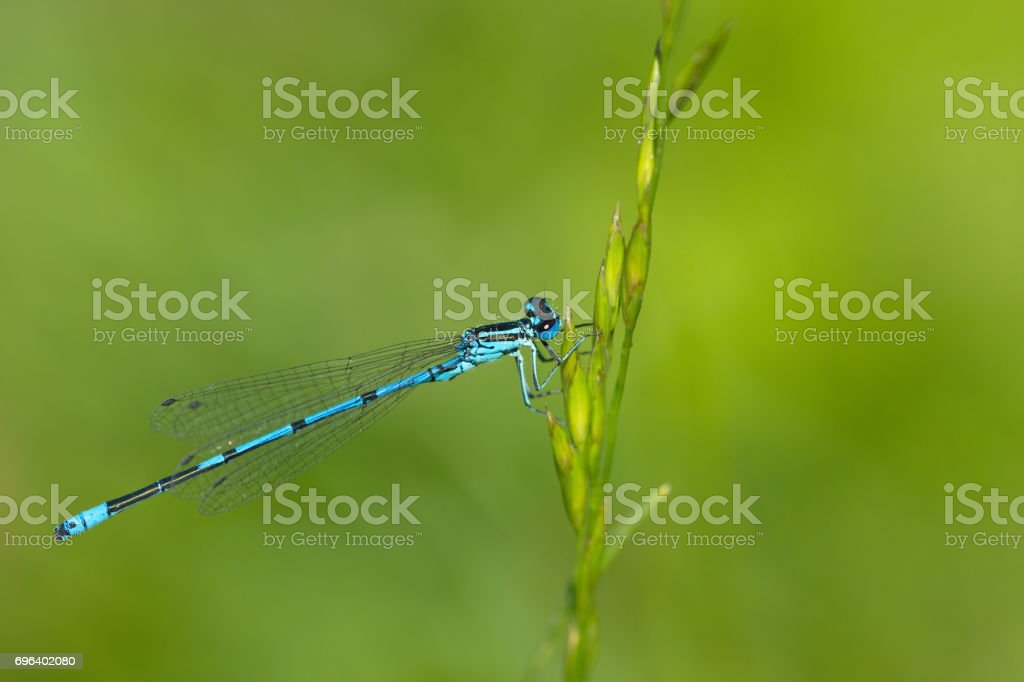 blaue Azurjungfer Libelle Coenagrion stock photo