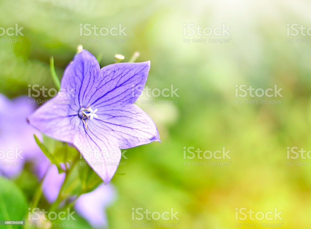 Blue balloon flower stock photo