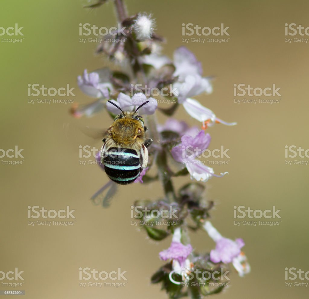 Blue Banded Bee on Basil stock photo