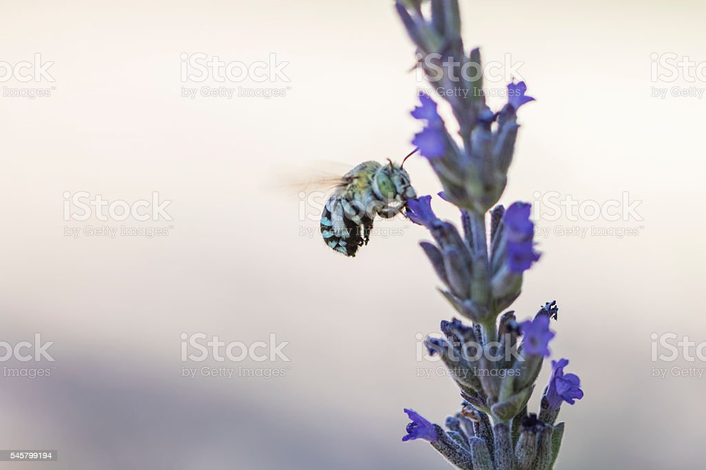 Blue banded bee stock photo