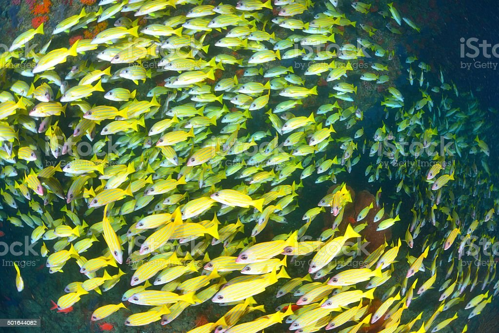 Blue banded snapper stock photo