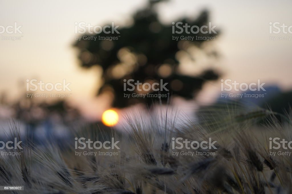 Blue barley field with sunset stock photo