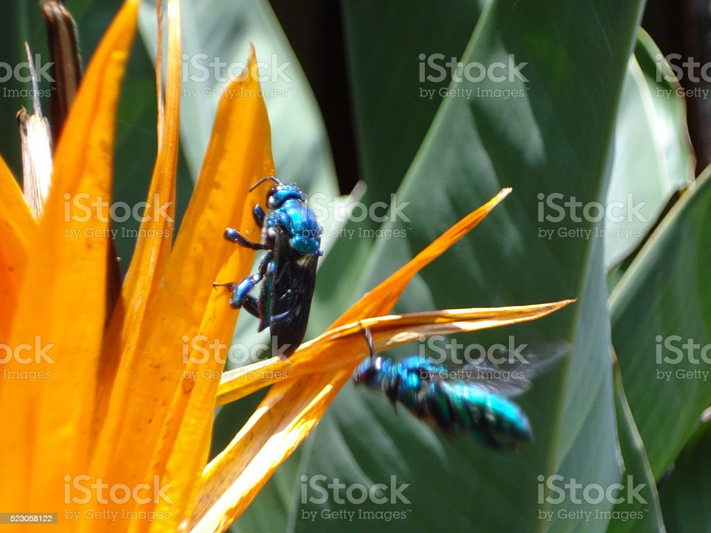 Blue bees on paradise flower stock photo