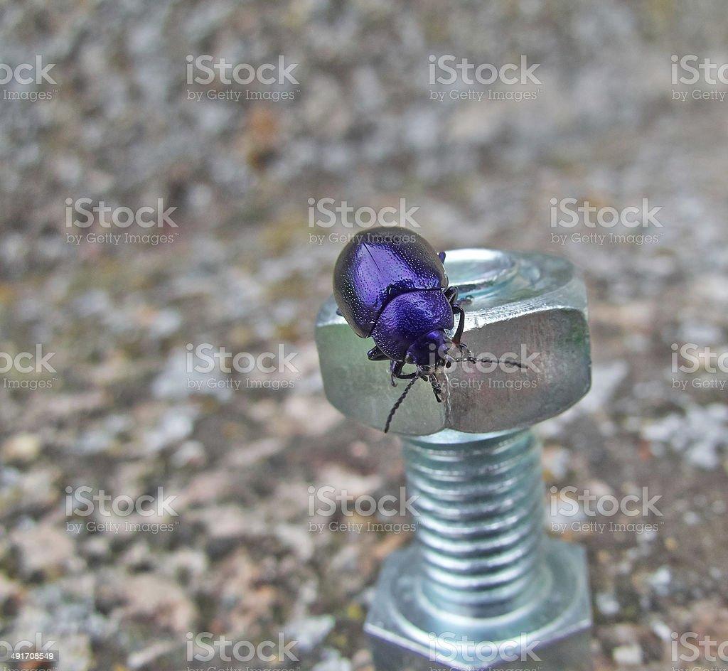 blue beetle royalty-free stock photo