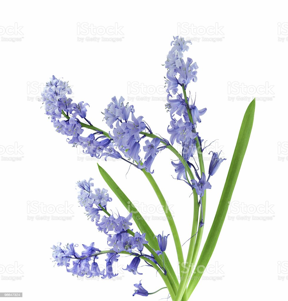 Blue bell flowers with green leaves on white background stock photo