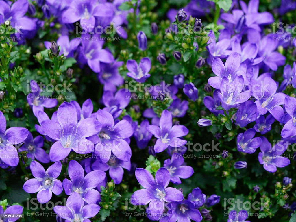 Blue bellflower or campanula flowers bunch stock photo