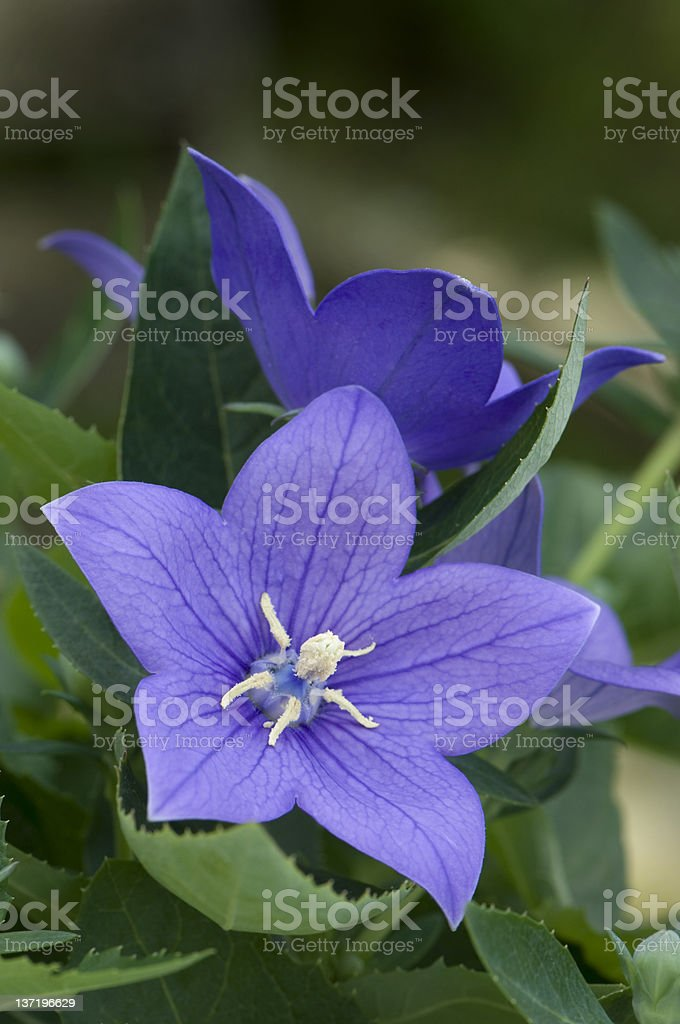 Blue bellflower stock photo
