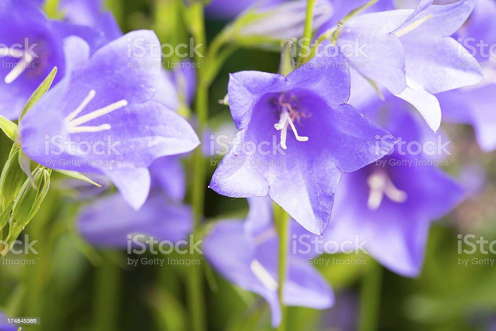 Blue bellflower royalty-free stock photo