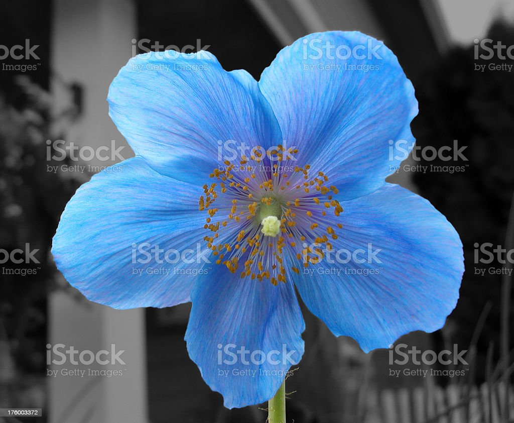 Blue Biennial Poppy royalty-free stock photo