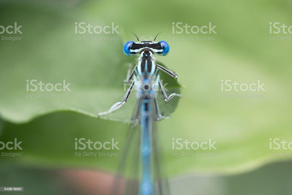 Blue big eyed dragonfly close up stock photo