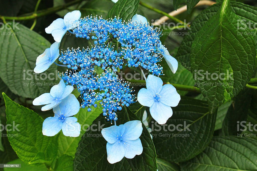 Blue bigleaf hydrangea (Hydrangea macrophylla) flowers stock photo