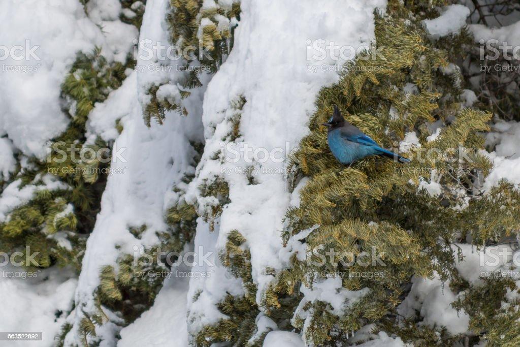 Blue bird in tree coated in snow stock photo