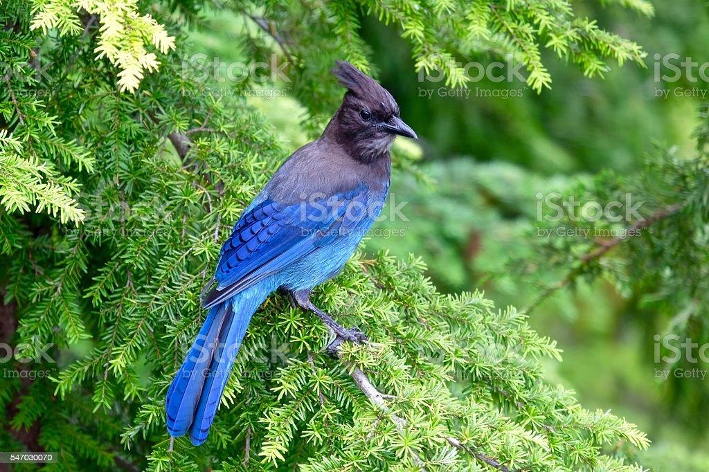 Blue bird in tree. stock photo