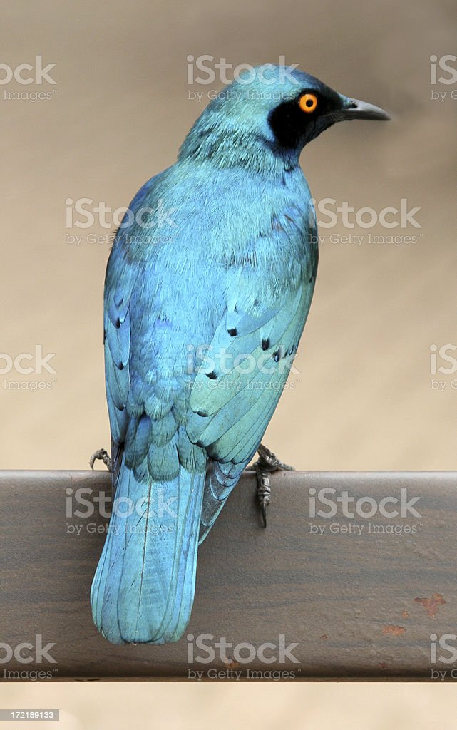 Blue bird of South Africa stock photo