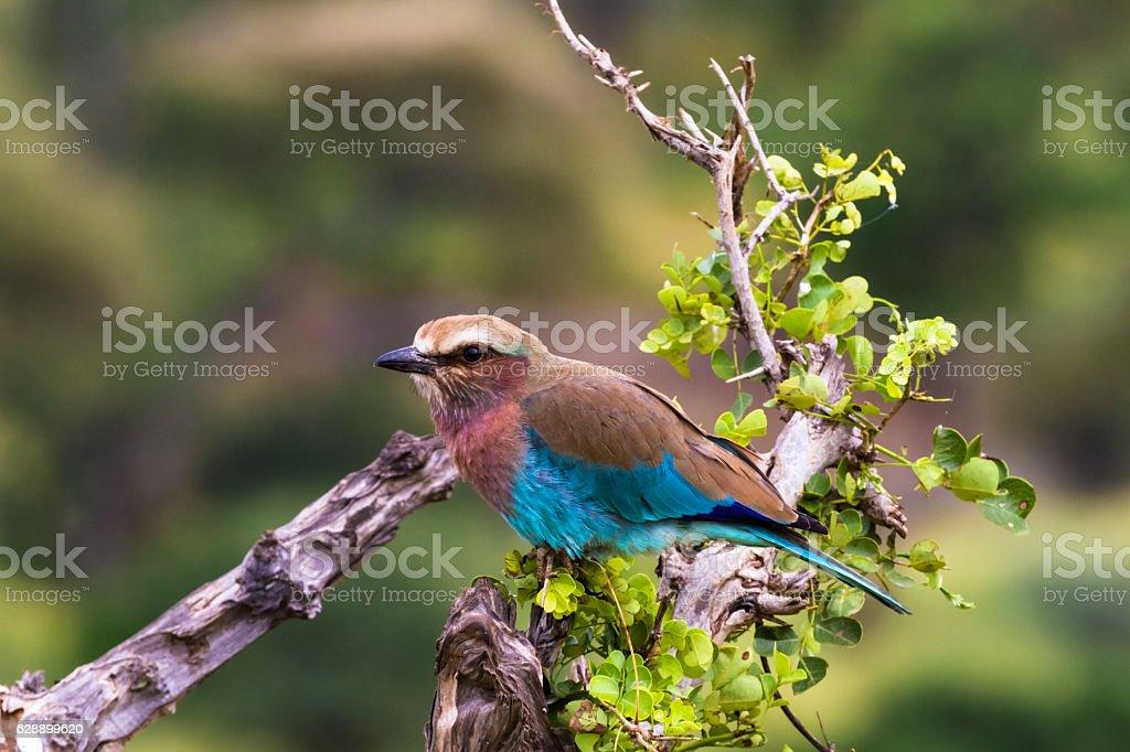 Blue bird on a tree stump. Tarangire, Tanzanya stock photo