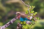 Blue bird on a tree stump. Tarangire, Tanzanya