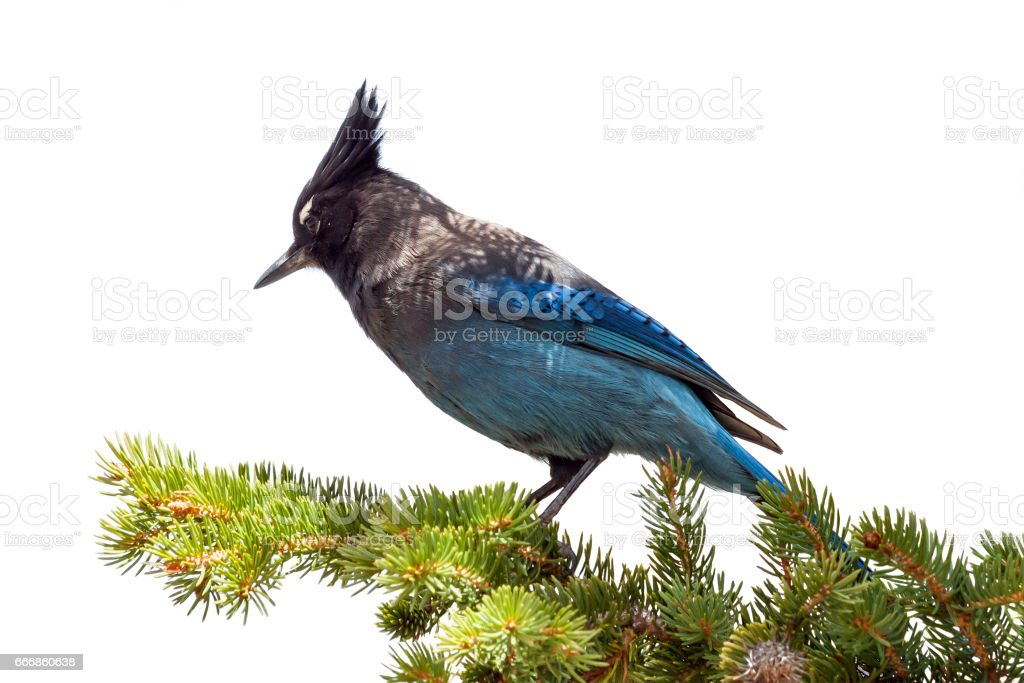 Blue Bird on Branch Isolated on White Background stock photo