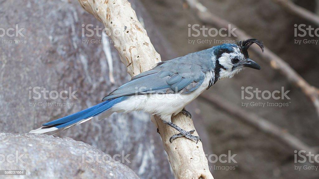 Blue bird (Calocitta formosa) perching on a branch stock photo