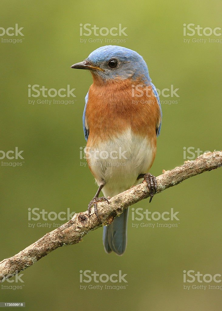 Blue Bird stock photo