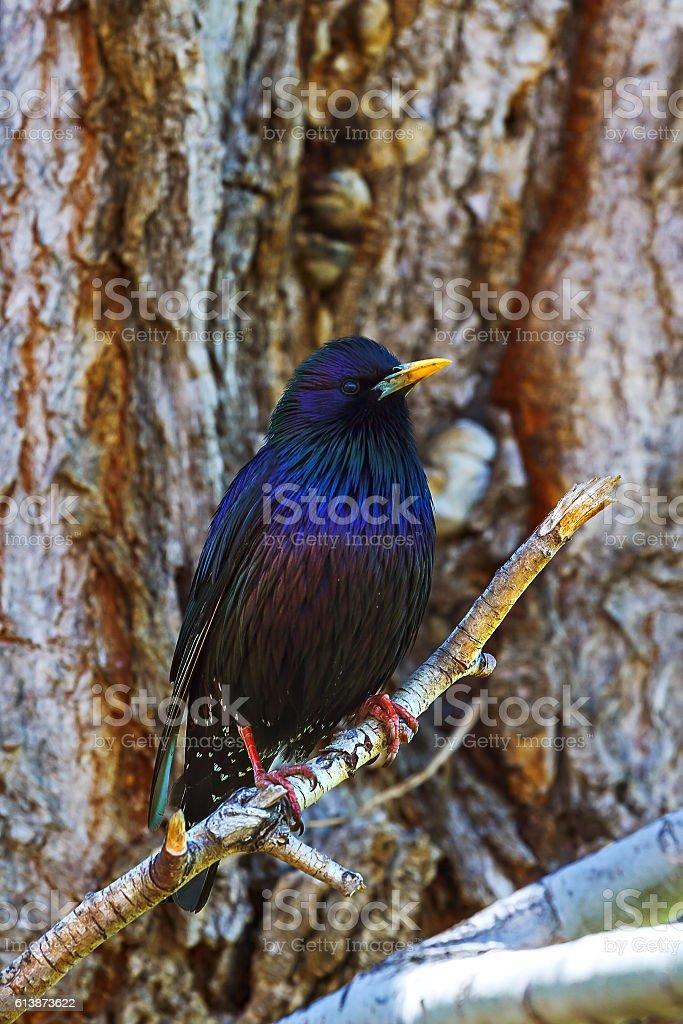 Blue bird thrush (Myiophones coeruleus) stock photo