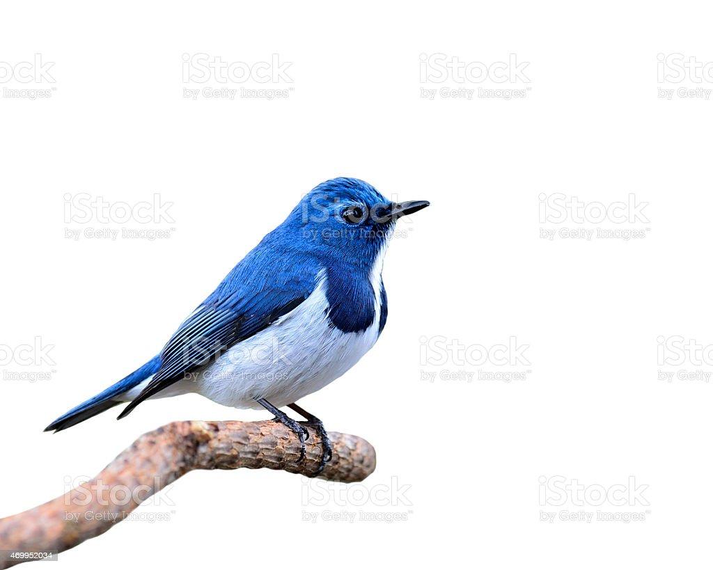 Blue Bird, Ultramarine Flycatcher, perching on branch isolated o stock photo