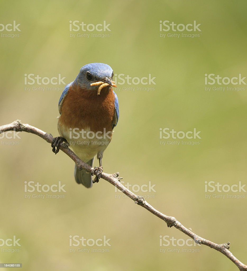 Blue Bird with Mealworms royalty-free stock photo