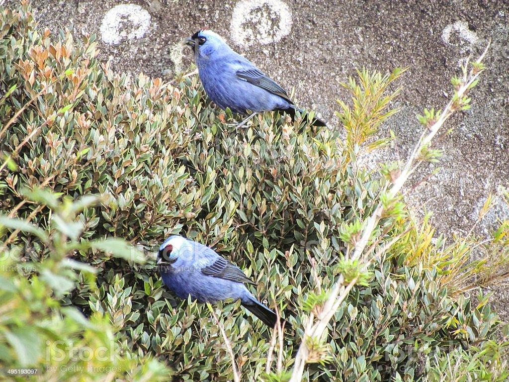 Blue Birds stock photo