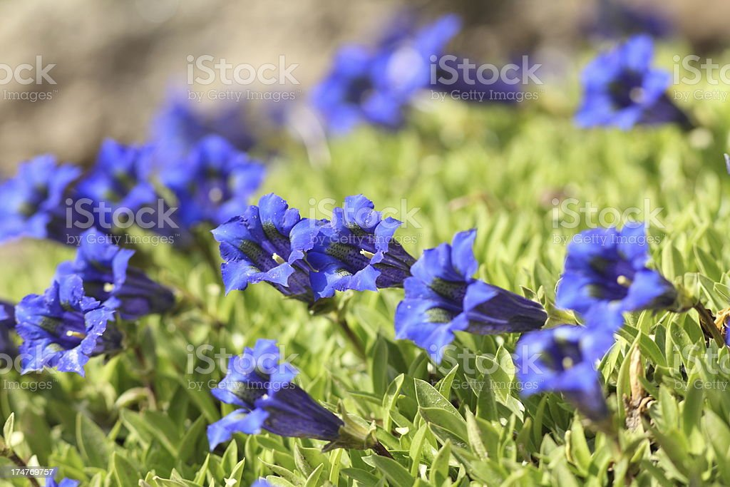 blue blooming gentian in Alpes royalty-free stock photo