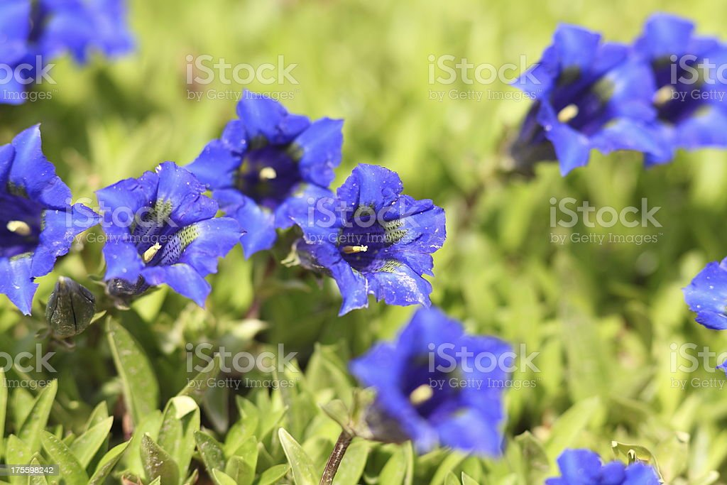 blue blooming gentian in Alpes stock photo